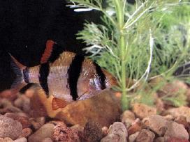 Barbusai ir kitos žuvytės