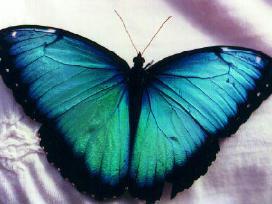 Tropiniai drugeliai - nuotraukos Nr. 3