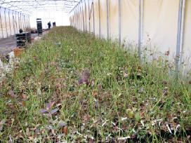 Šilauogių sodinukai - Juragių medelynas