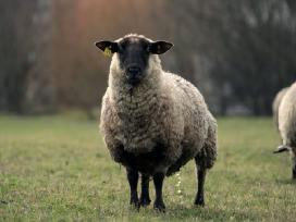 Avys, kerpu avis