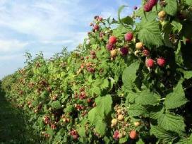Avietės,gervuogės sodinukai