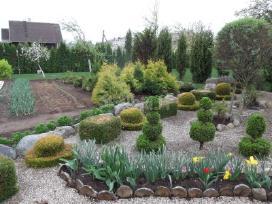 Tujos zemaugei gyvatvorei dekoratyviniai augalai