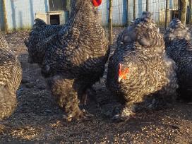 Veisliniai paukščiai ir jų kiaušiniai