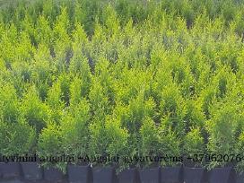v.t.smaragd 25-30cm