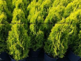 Tujos spalvotoms gyvatvorėms - Golden smaragd