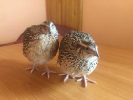 Inkubaciniai putpelių kiaušiniai - nuotraukos Nr. 2