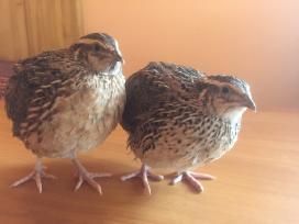 Inkubaciniai putpelių kiaušiniai