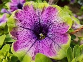 Surfinijos Lt- didėlis pasirinkimas gėlių