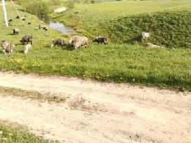 Romanovo veisles eriukai, eringos avys atvežu