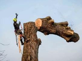 Pavojingų medžių pjovimas, genėjimas, surišimas