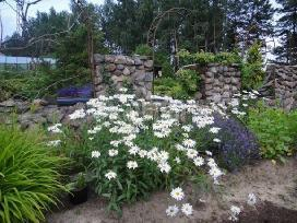 Ivairus dekoratyviniai augalai levandos tujos
