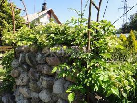 Ivairus dekoratyviniai augalai levandos tujos - nuotraukos Nr. 4