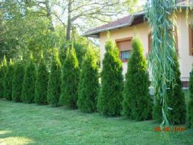 Tujos Smaragd aukštos 150/170 cm. - nuotraukos Nr. 3