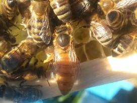 Bičių motinėlės