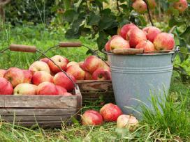 Visoje Lietuvoje superku obuolius