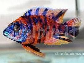 Įvairios žuvytės, pigiau - nuotraukos Nr. 5