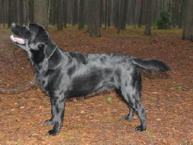Labradoro retriveris reproduktorius