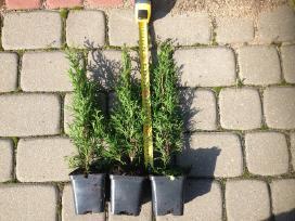 Tolesniam auginimui tujas Smaragd-1m. multipaletės