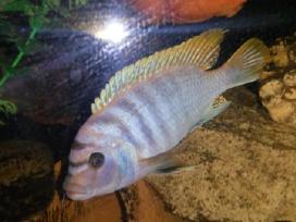 Afrikos ciklidai Labidochromis sp. Hongi Red