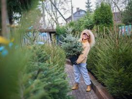 Kalėdinės eglutės vazonuose ir kirstos - nuotraukos Nr. 3