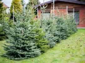 Kalėdinės eglutės vazonuose ir kirstos - nuotraukos Nr. 5