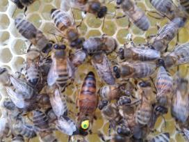 Buckfast veislės poruotos bičių motinėlės 2018m.