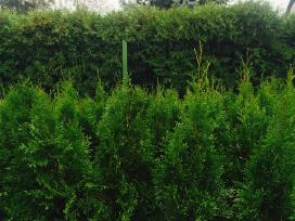 Tujos Smaragd ir kiti dekoratyviniai augalai