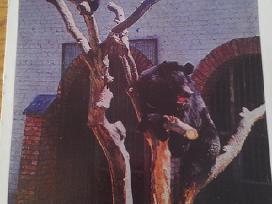 Himalajų Meška iš Kauno zoologijos sodo 1975 Vaga