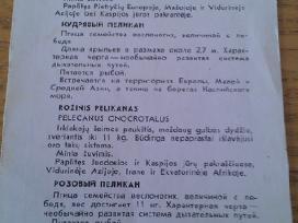 Garbanotasis ir Rožinis pelikanai iš Kauno zoologi - nuotraukos Nr. 2