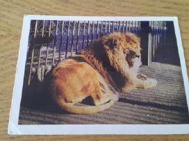 Liūtas iš Kauno zoologijos sodo 1975m Vaga