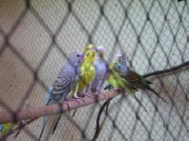Banguotosios papugėlės