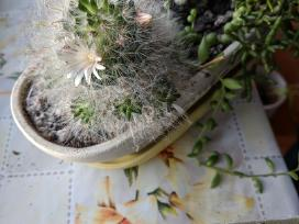 Kaktusų kolekcia