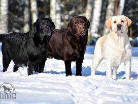 Kilmingi labradoro retriverių šuniukai - nuotraukos Nr. 22