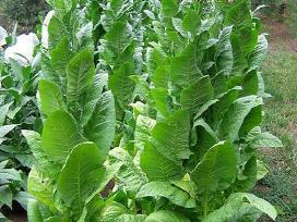 Parduoda tabako sėklas