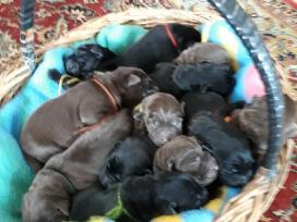 Kilmingi Labradoro Retriverio Šuniukai Iš Veislyno - nuotraukos Nr. 2