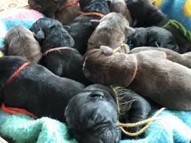 Kilmingi Labradoro Retriverio Šuniukai Iš Veislyno - nuotraukos Nr. 3