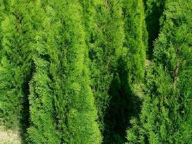 Tujos Smaragd Gera Kaina - nuotraukos Nr. 2
