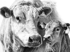 Brangiai perka gyvulius, karves, bulius, telyčias