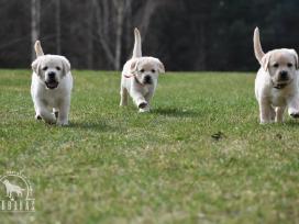 Kilmingi labradoro retriverių šuniukai - nuotraukos Nr. 17
