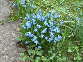 Vaismedžių, vaiskrūmių sodinukai ir gėlės - nuotraukos Nr. 20