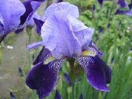 Vaismedžių, vaiskrūmių sodinukai ir gėlės - nuotraukos Nr. 17