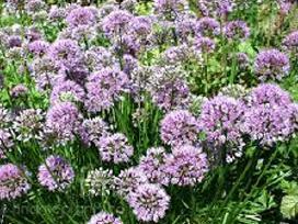 Vaismedžių, vaiskrūmių sodinukai ir gėlės - nuotraukos Nr. 18