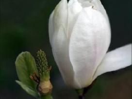 Mangolija x soulangeana alba superba