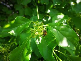 Bičių medis - nuotraukos Nr. 3