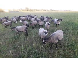 Romanovo veislės avys - nuotraukos Nr. 5