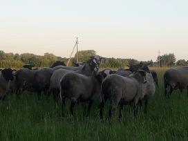 Romanovo veislės avys - nuotraukos Nr. 8