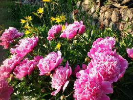 Ivairus dekoratyviniai augalai levandos tujos - nuotraukos Nr. 12