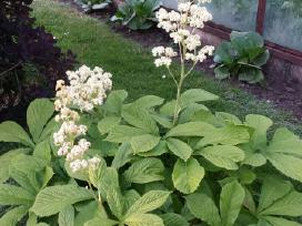 Ivairus dekoratyviniai augalai levandos tujos - nuotraukos Nr. 13