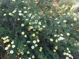 Ivairus dekoratyviniai augalai levandos tujos - nuotraukos Nr. 17