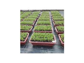 Agroplevelė nuo piktžolių 1.1 x100 m rulonas - nuotraukos Nr. 6